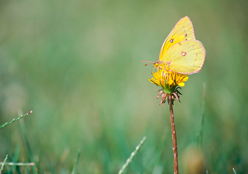 INS 01 GR0004 01 © Kimball Stock Cloudless Sulphur Butterfly On Dandelion