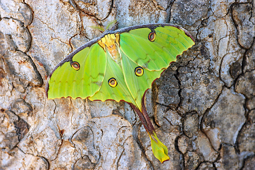 INS 01 HP0001 01 © Kimball Stock Luna Moth Perched On Bark Zululand, South Africa