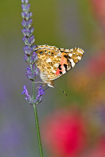 INS 01 KH0001 01 © Kimball Stock Painted Lady Butterfly Perched On Lavender