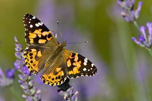 INS 01 KH0003 01 © Kimball Stock Painted Lady Butterfly Perched On Lavender