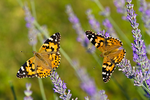 INS 01 KH0004 01 © Kimball Stock Two Painted Lady Butterflies Perched On Lavender