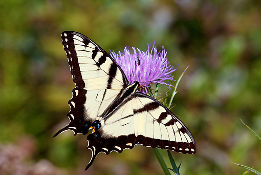 INS 01 LS0008 01 © Kimball Stock Eastern Tiger Swallowtail Butterfly Male Drinking Nectar From Pink Thistle