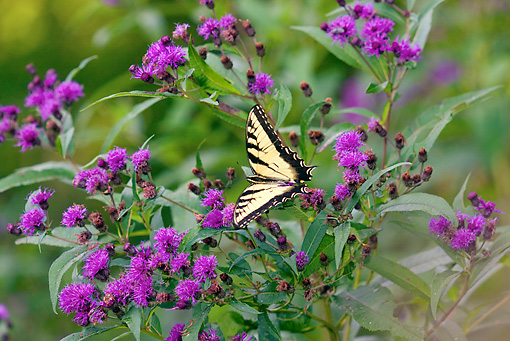 INS 01 LS0009 01 © Kimball Stock Eastern Tiger Swallowtail Butterfly Male Drinking Nectar From Ironweed
