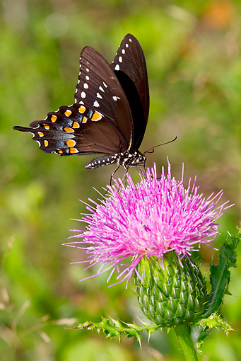 INS 01 LS0013 01 © Kimball Stock Spicebush Swallowtail Butterfly Drinking Nectar From Thistle Plant Durham, Connecticut