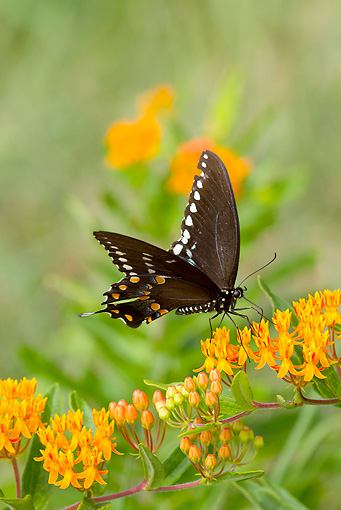 INS 01 LS0014 01 © Kimball Stock Spicebush Swallowtail Butterfly Drinking Nectar From Butterfly-Weed Old Saybrook, Connecticut