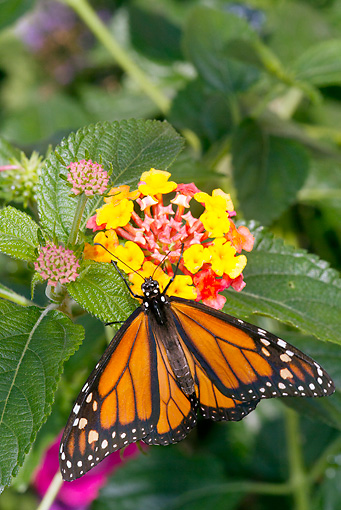 INS 01 LS0016 01 © Kimball Stock Monarch Butterfly Perched On Flower