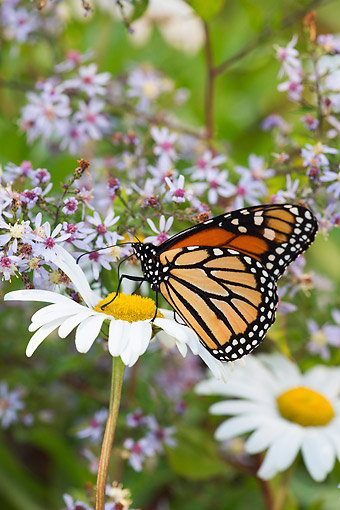 INS 01 LS0019 01 © Kimball Stock Monarch Butterfly On Montauk Daisies In October, Madison, Connecticut