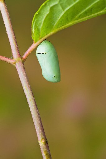 INS 01 TK0017 01 © Kimball Stock Newly Formed Monarch Butterfly Chrysalis Hanging From Stem
