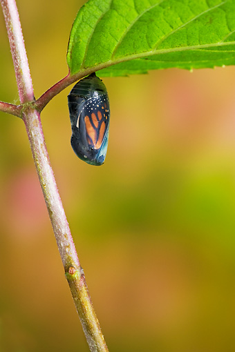 INS 01 TK0018 01 © Kimball Stock Monarch Butterfly Chrysalis Hanging From Stem At End Of Pupal Stage