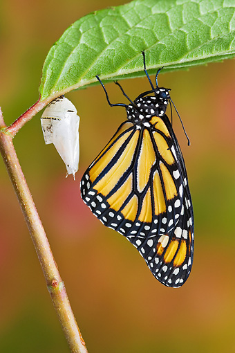 INS 01 TK0019 01 © Kimball Stock Monarch Butterfly Hanging From Leaf With Empty Chrysalis