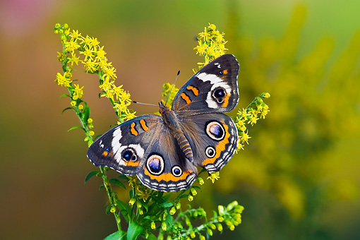INS 01 TK0022 01 © Kimball Stock Common Buckeye Butterfly On Goldenrod
