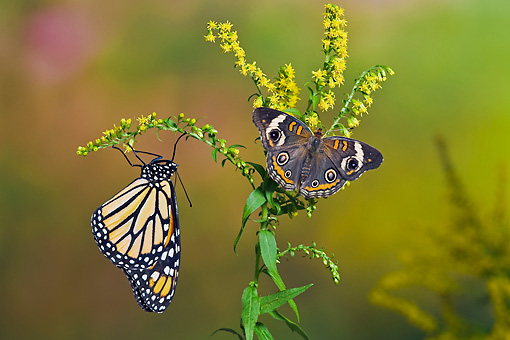 INS 01 TK0023 01 © Kimball Stock Common Buckeye Butterfly And Monarch Butterfly On Goldenrod