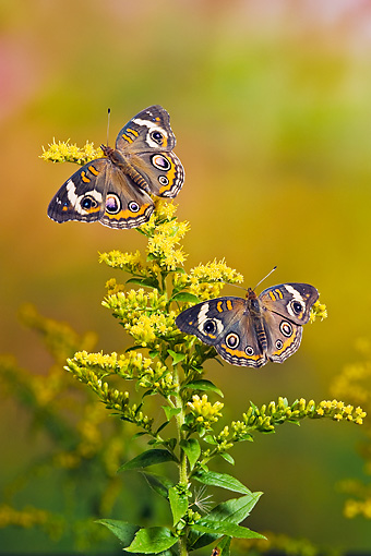 INS 01 TK0025 01 © Kimball Stock Two Common Buckeye Butterflies On Goldenrod