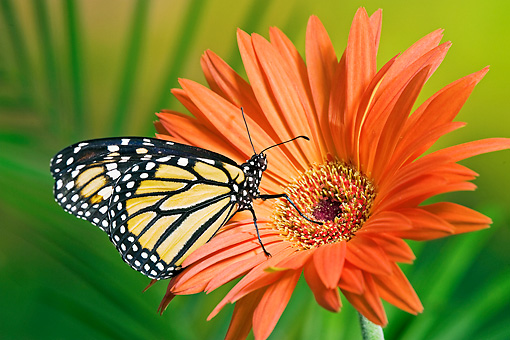 INS 01 TK0026 01 © Kimball Stock Monarch Butterfly On Orange Gerbera Daisy