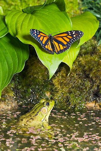 INS 01 TK0028 01 © Kimball Stock Monarch Butterfly On Leaf By Green Frog Watching In Water