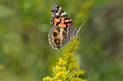 INS 01 TK0029 01 © Kimball Stock American Painted Lady Feeding On Goldenrod Nectar