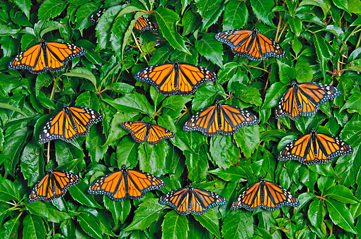 INS 01 TK0030 01 © Kimball Stock Monarch Butterflies With Single Viceroy Perched In Patio Vines