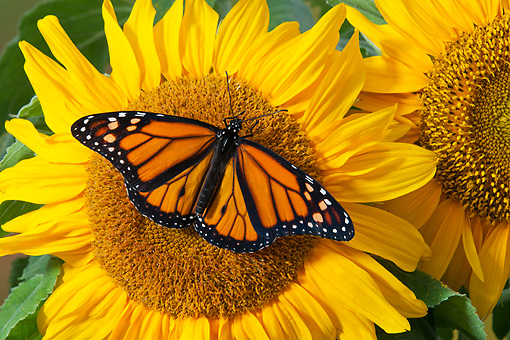 INS 01 TK0031 01 © Kimball Stock Monarch Butterfly Perched On Sunflower In Summer