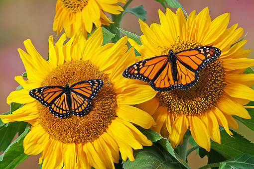 INS 01 TK0032 01 © Kimball Stock Monarch And Viceroy Butterflies Perched On Sunflowers In Summer