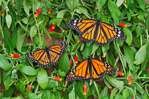 INS 01 TK0033 01 © Kimball Stock Monarch And Viceroy Butterflies Basking On Candy Corn Vines In Summer