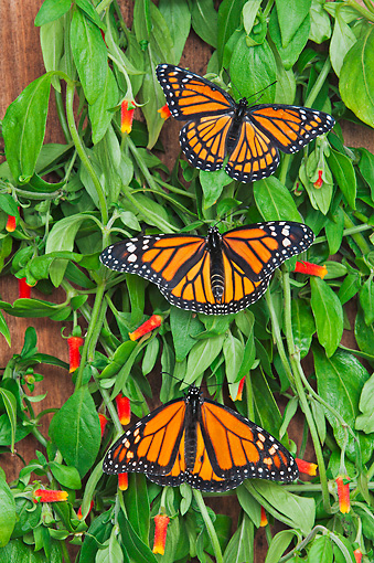 INS 01 TK0034 01 © Kimball Stock Monarch And Viceroy Butterflies Basking On Candy Corn Vines In Summer