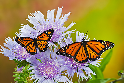 INS 01 TK0035 01 © Kimball Stock Monarch And Viceroy Butterflies Perched On Stoke's Aster Flowers In Summer