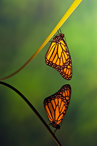 INS 01 TK0036 01 © Kimball Stock Monarch Butterfly Perched On Leaf By Reflection