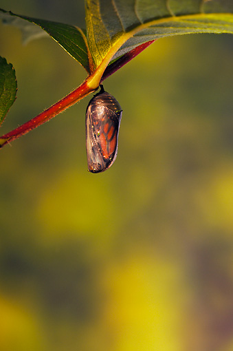 INS 01 TK0040 01 © Kimball Stock Translucent Monarch Chrysalis Before Emergence Of Butterfly