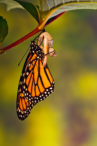 INS 01 TK0041 01 © Kimball Stock Monarch Butterfly Drying Wings After Emerging From Chrysalis
