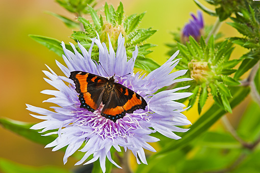 INS 01 TK0042 01 © Kimball Stock Milbert's Tortoiseshell Butterfly Perched On Stoke's Aster Flower In Summer