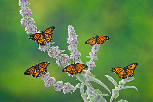 INS 01 TK0045 01 © Kimball Stock Viceroy Butterflies Perched On Lamb's Ear Flowers In Summer