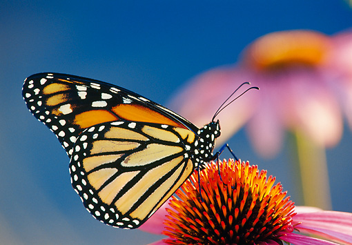 INS 01 TL0008 01 © Kimball Stock Monarch Butterfly Resting On Purple Flower