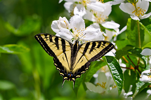 INS 01 TL0010 01 © Kimball Stock Western Tiger Swallowtail Nectaring On Mock-Orange