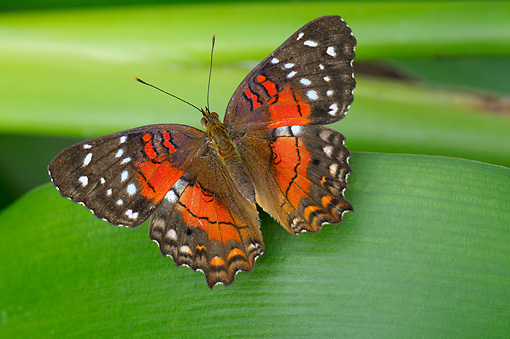 INS 01 WF0001 01 © Kimball Stock Brown Peacock Butterfly Sitting On Leaf