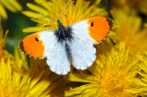 INS 01 WF0002 01 © Kimball Stock Orange Tip Butterfly Male Sitting On Dandelions