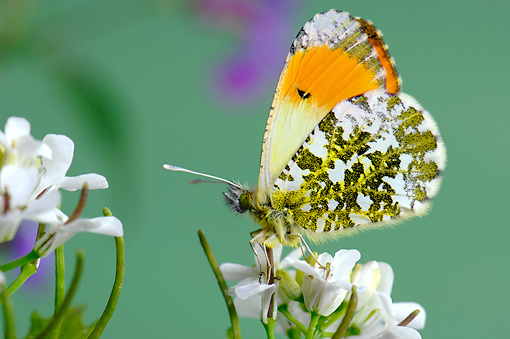 INS 01 WF0005 01 © Kimball Stock Orange Tip Butterfly Male Sitting On White Flower