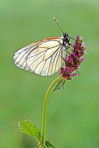 INS 01 WF0009 01 © Kimball Stock Black-Veined White Butterfly Sitting On Flower