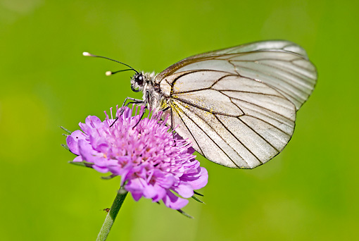 INS 01 WF0010 01 © Kimball Stock Black-Veined White Butterfly Sitting On Pink Flower