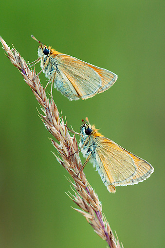 INS 01 WF0015 01 © Kimball Stock Two Small Skipper Butterflies On Grass