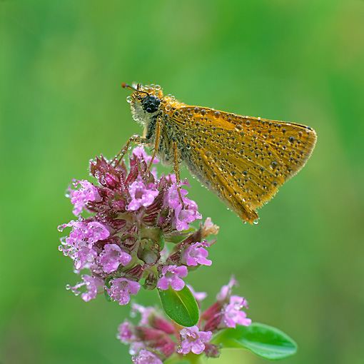 INS 01 WF0016 01 © Kimball Stock Large Skipper Butterfly Covered In Dew On Pink Flower