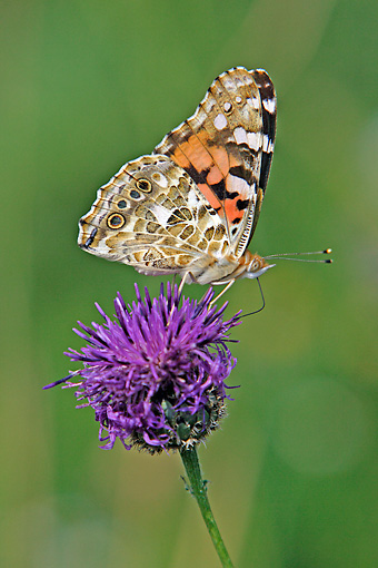 INS 01 WF0017 01 © Kimball Stock Painted Lady Butterfly Feeding On Purple Daisy