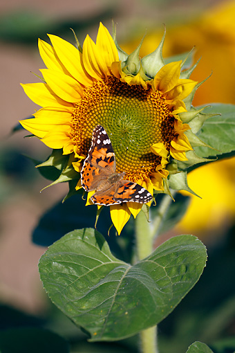 INS 01 WF0018 01 © Kimball Stock Painted Lady Butterfly Feeding On Sunflower
