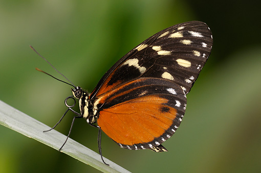 INS 01 WF0022 01 © Kimball Stock Tiger Heliconian Butterfly Standing On Leaf