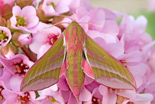 INS 01 WF0023 01 © Kimball Stock Elephant Hawkmoth Perched On Pink Flowers