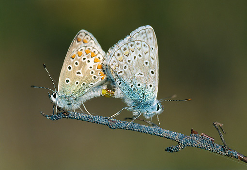 INS 01 WF0030 01 © Kimball Stock Two Silver-Studded Blue Butterflies Mating On Twig
