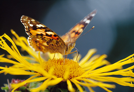 INS 01 WF0032 01 © Kimball Stock Painted Lady Butterfly Perched On Yellow Flower