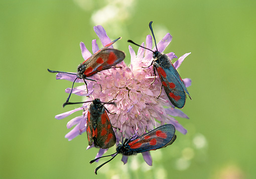 INS 01 WF0033 01 © Kimball Stock Four Six-Spot Burnets Crawling On Pink Flower