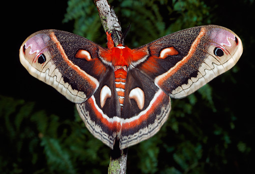 INS 01 LS0001 01 © Kimball Stock Cecropia Moth Sitting On Twig