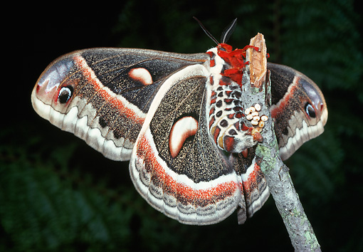 INS 01 LS0002 01 © Kimball Stock Cecropia Moth Laying Eggs On Twig