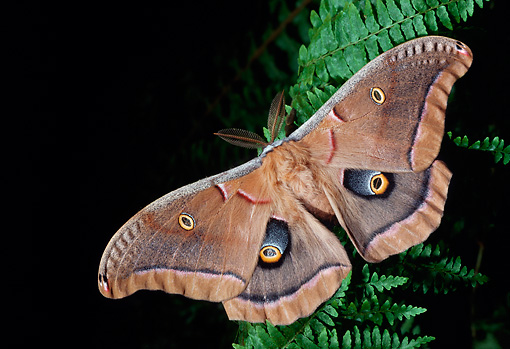 INS 01 LS0003 01 © Kimball Stock Polyphemus Moth Sitting On Fern